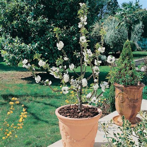 cerisier nain garden 174 plantes et jardins