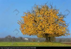 Apfelbaum Hochstamm Kaufen : hochstamm apfelbaum im herbstkleid stockfoto 10251909 bildagentur panthermedia ~ Orissabook.com Haus und Dekorationen