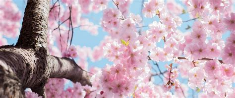 cherry blossom season  wallpaper ultrawide monitor
