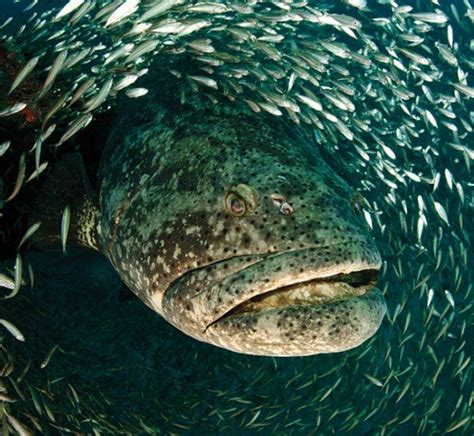 goliath grouper jonah fish swallowed mouth sea monsters creatures underwater under almost looking river wade jeremy animal water ocean