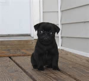 Very Cute Pug Puppies
