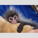 Baby Spider Monkey Pictures | 560 x 410 jpeg 103kB