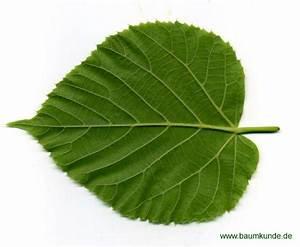 Linde Baum Steckbrief : sommer linde tilia platyphyllos blatt blattunterseite bestimmen sommer linde ~ Orissabook.com Haus und Dekorationen