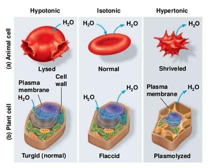 turn  solution  hypotonic  hypertonic quora