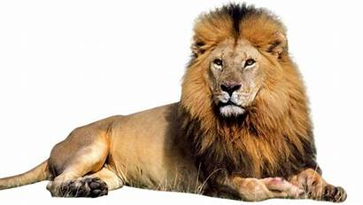 Lion Male Transparent Clipart Background Resolution Freeiconspng