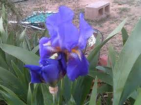 purple iris bulbs for sale classifieds