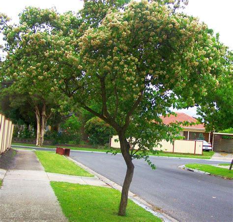 washington hawthorn tree street trees hawthorne seeds kiyanti2008 crataegus weblog state taste update