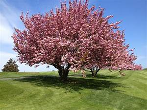 Delightful Cherry Tree