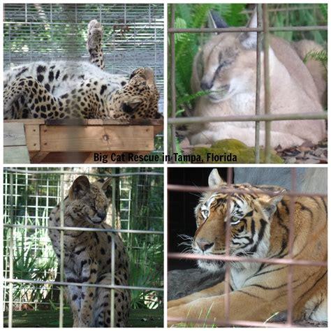 big cats in georgia cute cats