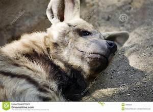 Australian Dingo Puppy Royalty Free Stock Photo - Image ...