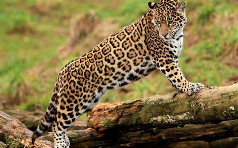 Jaguar Desktop Wallpaper by Jaguar Wallpaper Beautiful Hd Desktop Wallpapers 4k Hd
