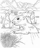Prairie Dog Coloring Pages Grassland Drawing Dogs Animals Wildlife Hole Poking Nature Getdrawings Activities Popular Drawings sketch template