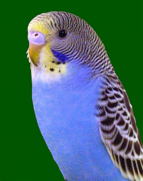 budgie bird 78 best images about b u d g i e s on pinterest pretty boys pets and opaline