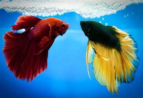 betta fish span what affects the life span of a betta fish about betta fish tanks betta fish tanks