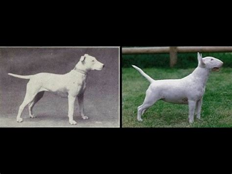 dog breeds     years  evolution   dogs  changed youtube