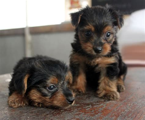 Pictures Of Small Dogs That Don T Shed by Top 10 Breeds That Don T Shed Animal Fair
