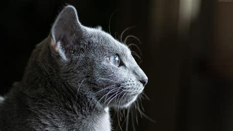 Grey Animal Wallpaper - wallpaper cat grey 4k animals 4k wallpapers images