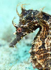 types  seahorses fish  information