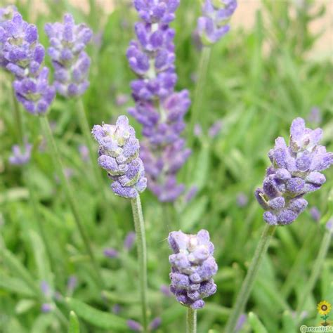 welche pflanzen gegen wespen pflanzen gegen katzen gartenhit24 de