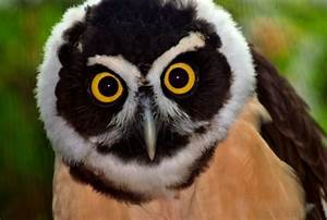 spectacled-owl | for the love of birds