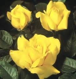 Yellow Rose Texas