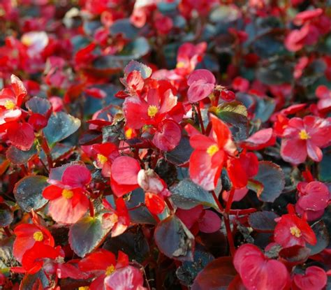begonias outdoors growing begonias the showy houseplant with amazing flowers and leaves the gardening cook