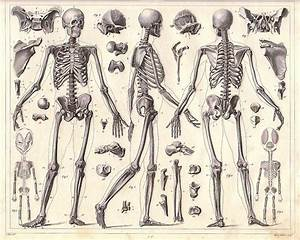 Human Anatomy Full Body Skeleton In India For Sale  U2013 Human Anatomy Skeleton In India
