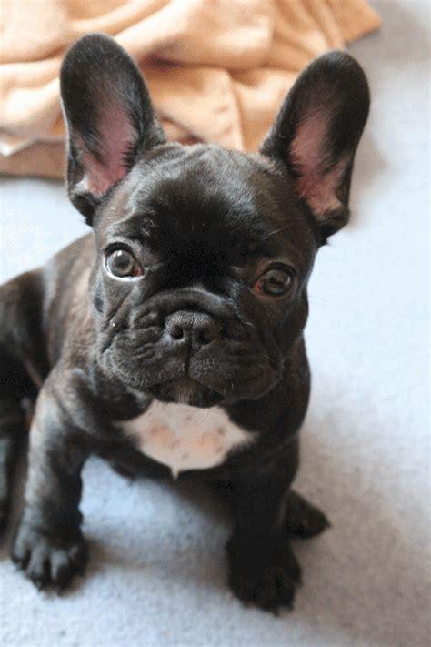 french bulldog gif gif images