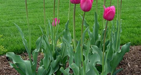 bulbo fiore fiori a bulbo bulbi caratteristiche dei fiori a bulbo