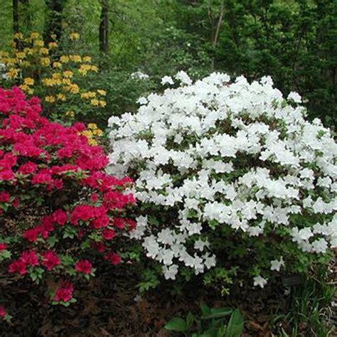 white azalea japanese evergreen shrub hardy garden