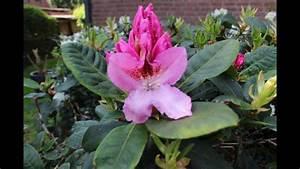 Rhododendron Blüten Schneiden : rhododendron schneiden pflegen newwonder555 youtube ~ A.2002-acura-tl-radio.info Haus und Dekorationen