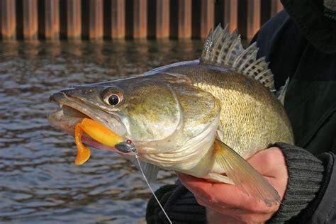zander angeln fisch catch fishing gummifisch fluss elbe doctor weser deinen einen fang zanderangeln wie artikel sind pinlate findcheapfly