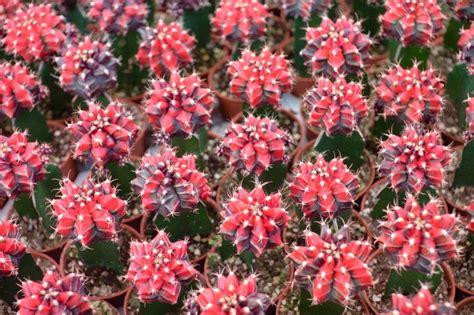 ยิมโนหัวสี สีดำแดง - วาเลนไทน์พันธุ์ไม้