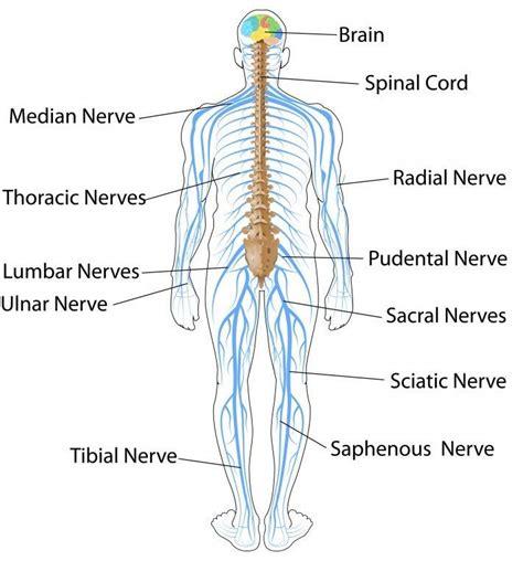 icse solutions  class  biology  nervous system