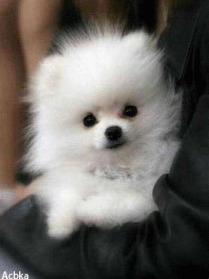 Puppy Pomeranian Cuccioli Fluffy Salvato Da Uploaded