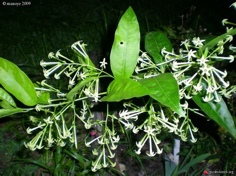 galant de nuit fleurs 2 les galeries photo de plantes de gardenbreizh