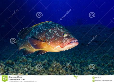 grouper subfamily number serranidae groupers genera fish order any islands