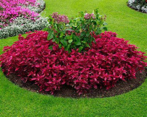 GardensOnline: Iresine herbstii