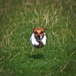Does Border Terriers Shed by Jack Russell Terri 235 R Hondenrassen En Eigenschappen