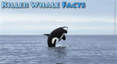 killer whale facts  kids orca information pictures