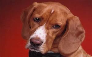 hound dog looking cute wallpaper