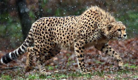 wallpaper cheetah  animals