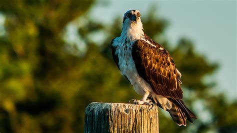osprey chesapeake conservancy