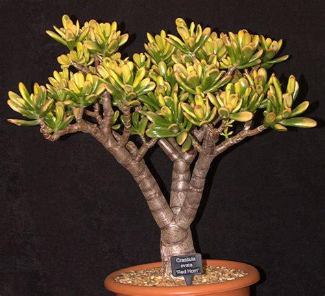jade plant money plant crassula ovata crassulaceae