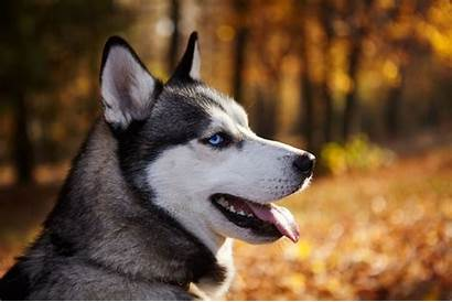 Husky Dog Siberian Want Think Chien Articles