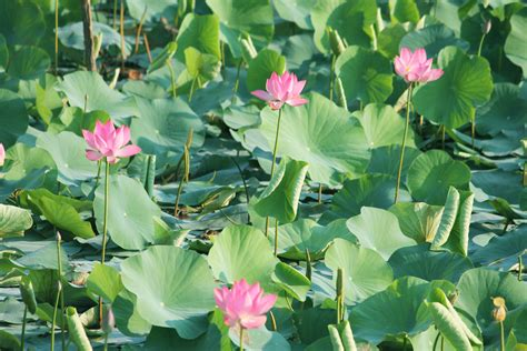 Free Images : pink color, pond, morning, daylight, green ...