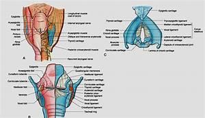 Larynx Anatomy | www.pixshark.com - Images Galleries With ...