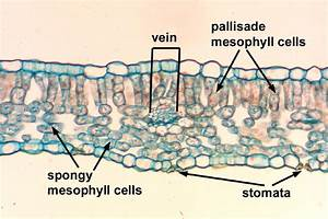 Leaf Cell Under Microscope Labeled