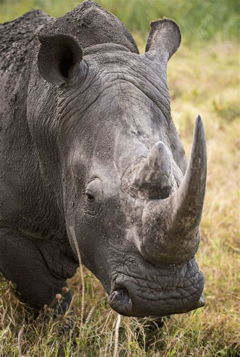 Black Rhinoceros Wallpapers FREE Pictures on GreePX