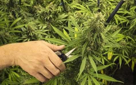 grow bigger cannabis buds outdoors  indoors leafly